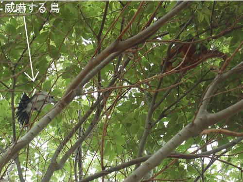 ポッサムを威嚇する鳥