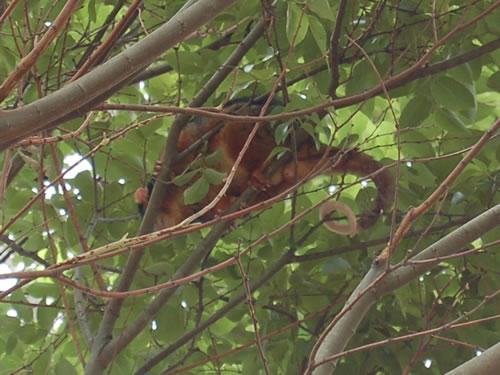 庭の木の枝にポッサムがいた