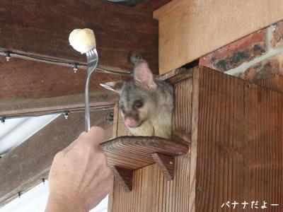 ポッサムの巣箱の前にバナナを差し出すと、ポッサムが中から出てきた