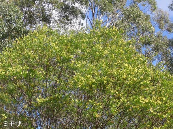 咲き始めたミモザの木