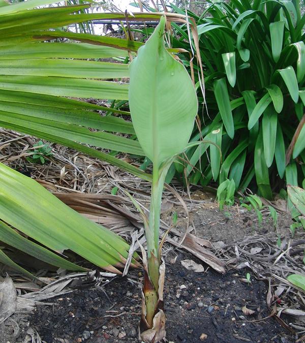 バナナの苗も大きくなってきた