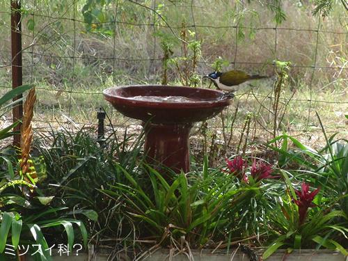 ミツスイ科とおぼしき鳥
