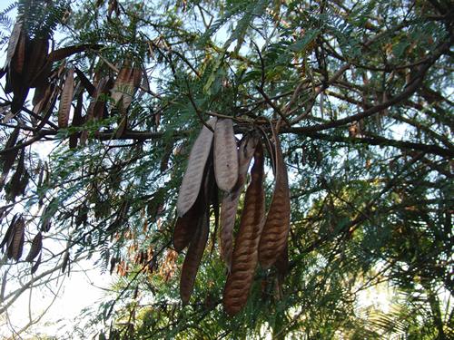 何の木が不明、枝にたくさんのマメが生っている
