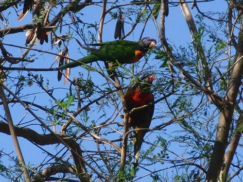 木に群がるゴシキセイガイインコ