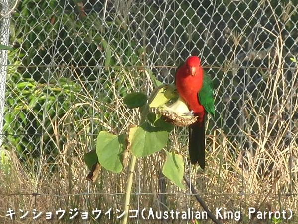 ヒマワリの種を食べるキンショウジョウインコ