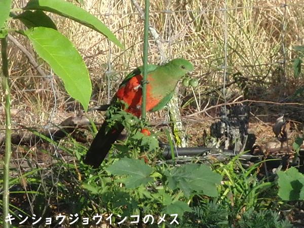 ミニトマトを食べる食べるキンショウジョウインコ