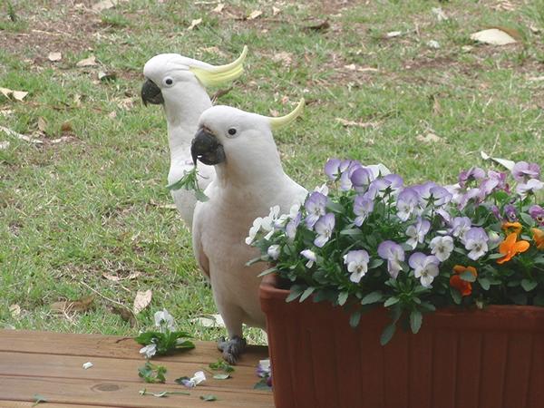 花をむしって遊ぶキバタン