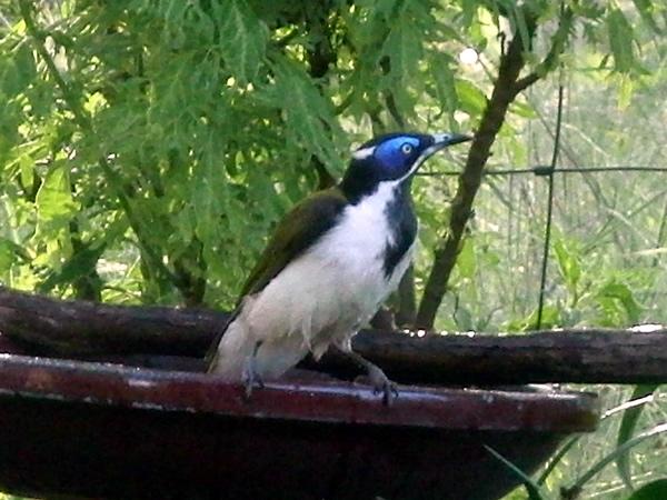庭の水飲み場に来た鳥(Entomyzon cyanotis)