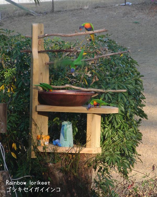 新しい水飲み場に集まるゴシキセイガイインコ