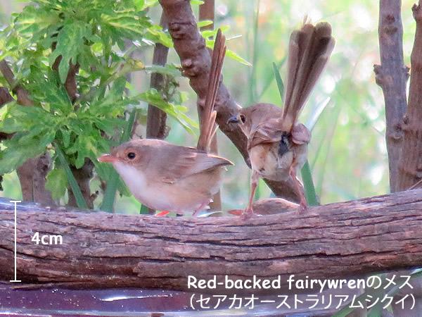 Red-backed fairywrenのメス (セアカオーストラリアムシクイ)