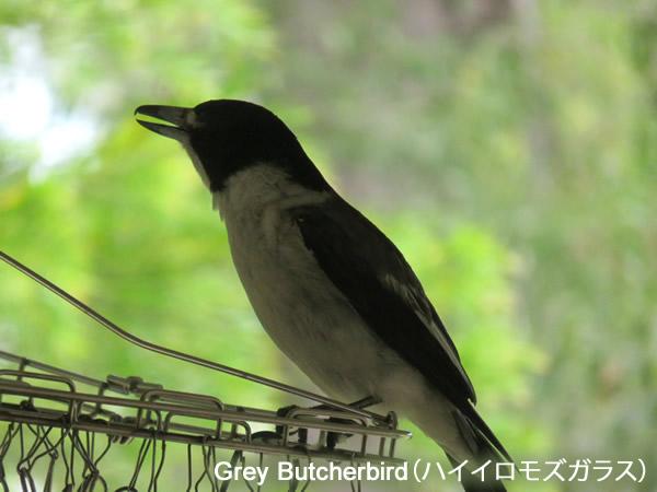 Grey Butcherbird(ハイイロモズガラス)