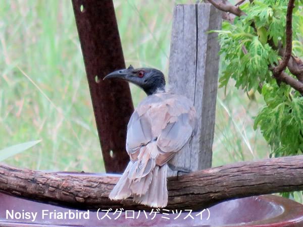 Noisy Friarbird (ズグロハゲミツスイ)