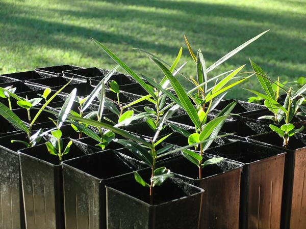 順調に育っているボトルツリーの苗