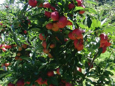 リンゴ園のりんご、まさに鈴なり