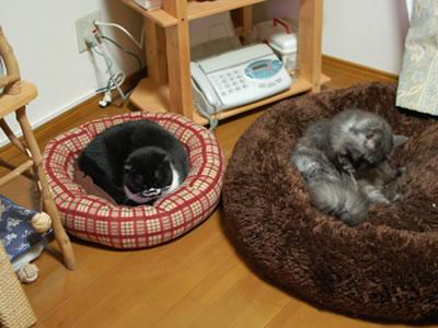 猫ベッドの中のクマにゃん