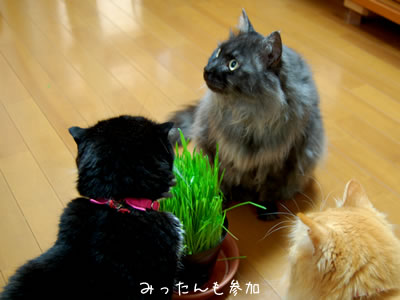 みったんも猫草を食べに来た