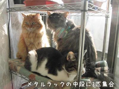 金属ラックの中段に乗っている猫3匹、日当たり良好で冬には最高の場所