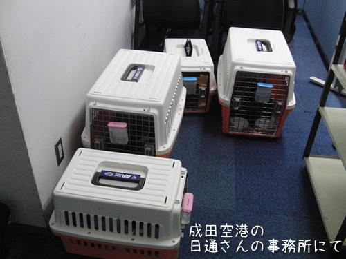 成田の日通さんの事務所に着いた4匹、この後飛行機でシドニーにむかった