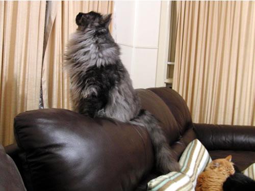 ソファの上に乗って何かを見つめるモコにゃん
