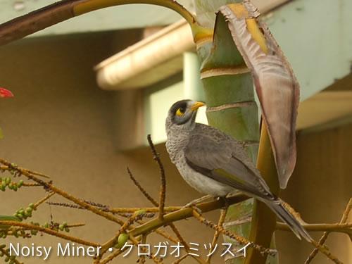 2匹が見ているのは、隣家の木の枝にとまるクロガオミツスイという野鳥