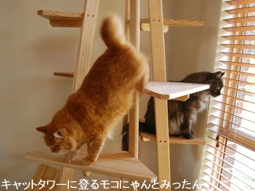 キャットタワーに登るモコにゃんとみったん