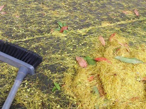 庭に落ちた黄色い花の残骸