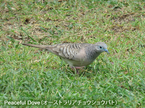 Peaceful Dove(オーストラリアチョウショウバト)