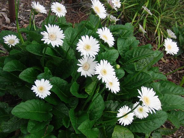 名前がわからないきれいな白い花