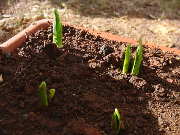 水仙が芽を出し始めた