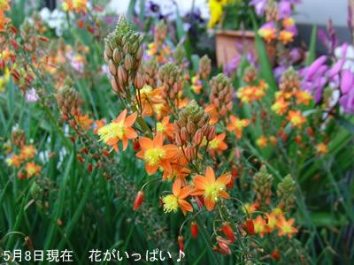 ハナアロエは春から秋まで咲く