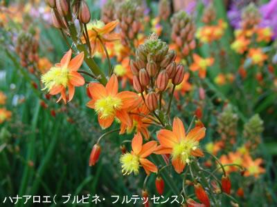 ハナアロエ(ブルビネ・フルテッセンス)の花