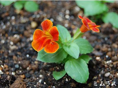 まだとっても小さい苗なのに、もう花が咲いているミムラス