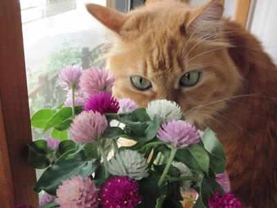 千日紅の花のにおいをかぐみったん