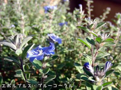 ブルーコーラルの青い花