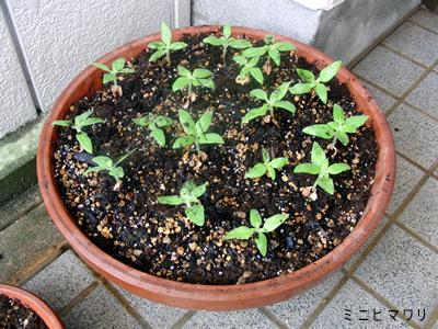 大きな植木鉢に植え替えたミニヒマワリの苗、まだ高さは5cmくらい