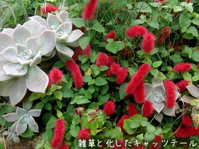 庭に雑草のように生えているキャッツテール