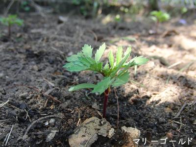 オーストラリアに来て初めてまいた種(マリーゴールド)を庭へ定植