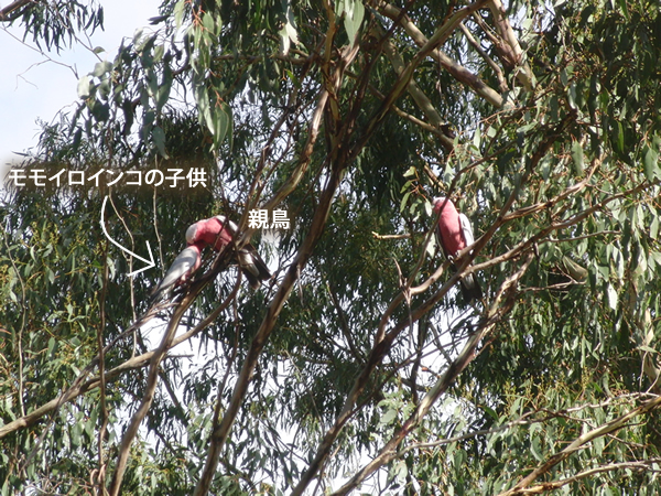 ユーカリの木の上のモモイロインコ一家