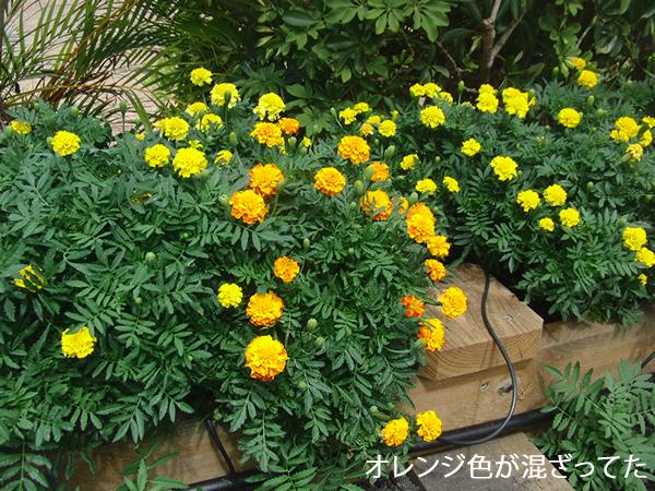 黄色い花の種を買ったのにオレンジ色が混ざってた