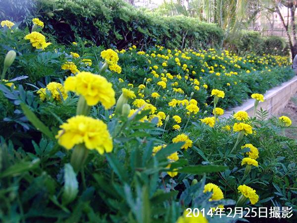 マリーゴールドの花でいっぱいになったガーデンベッド