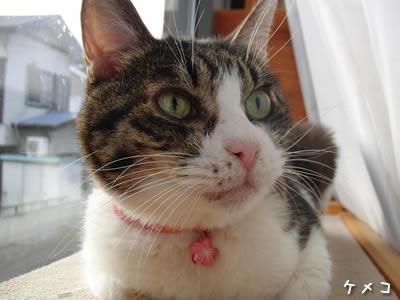 桜の鈴を付けたケメコ