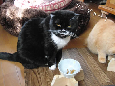 器は食べやすいからいいけど、カリカリがあんまり好きじゃないよ。ウンギャー!