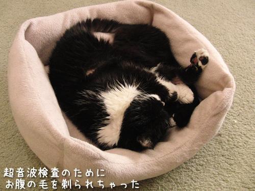猫ベッドで眠るクマにゃん