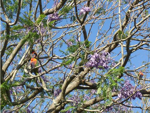 ジャカランダの枝にとまっているゴシキセイガイインコ