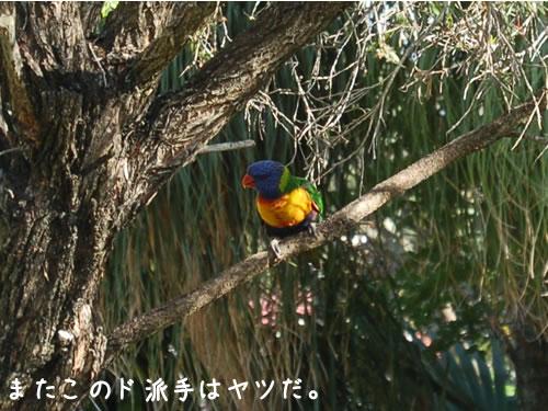 またこの鳥(ゴシキセイガイインコ)だ、ボクがいると餌が食べられないから早くあっちへ行けってさ