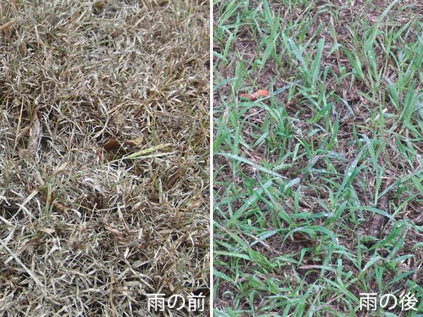 雨の前と後の芝生