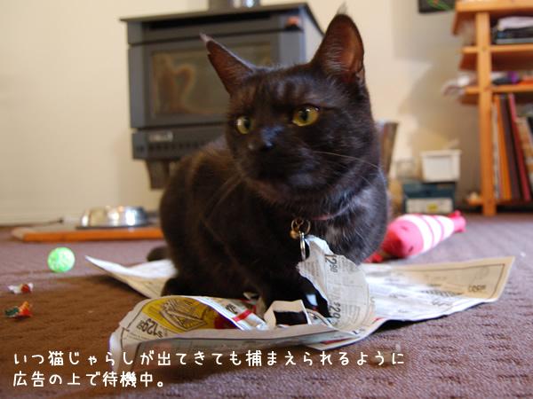 いつ猫じゃらしが出てきても捕まえられるように待機するミドン君