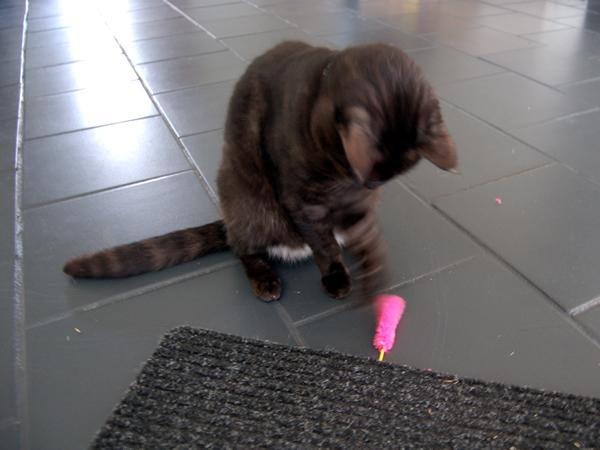 猫じゃらしで遊ぶミドン君