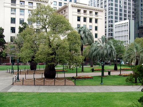 ANZAC Squareの庭、幹の太い木がボトルツリー
