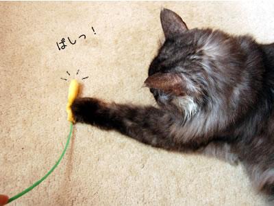 猫じゃらしに猫パンチするモコにゃん